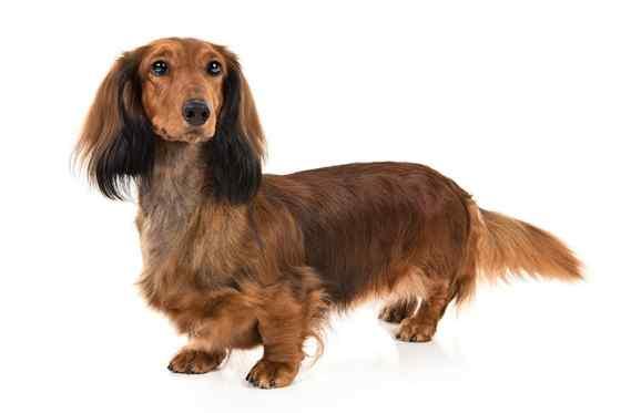 Raças de cachorro pequeno de todo o mundo- Dachshund pelo longo