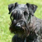 Terrier Checo ou Cesky Terrier