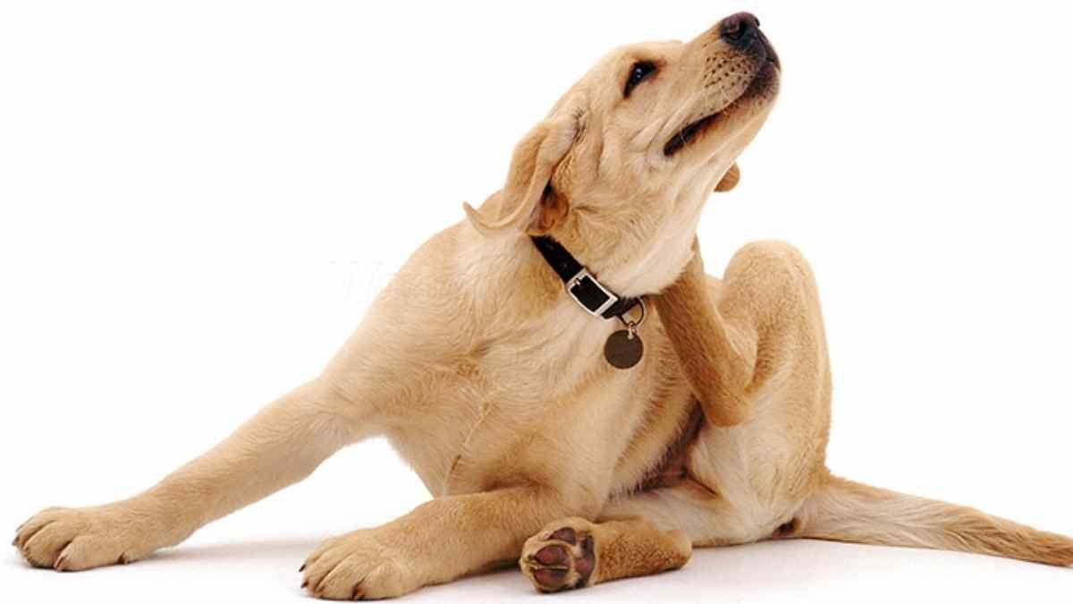 doenças de pele em cachorro