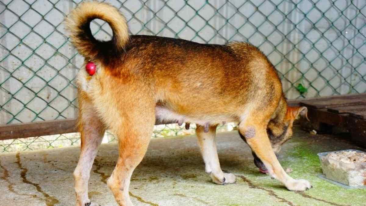 O que é prolapso retal em cães? (Sintomas e Tratamento)