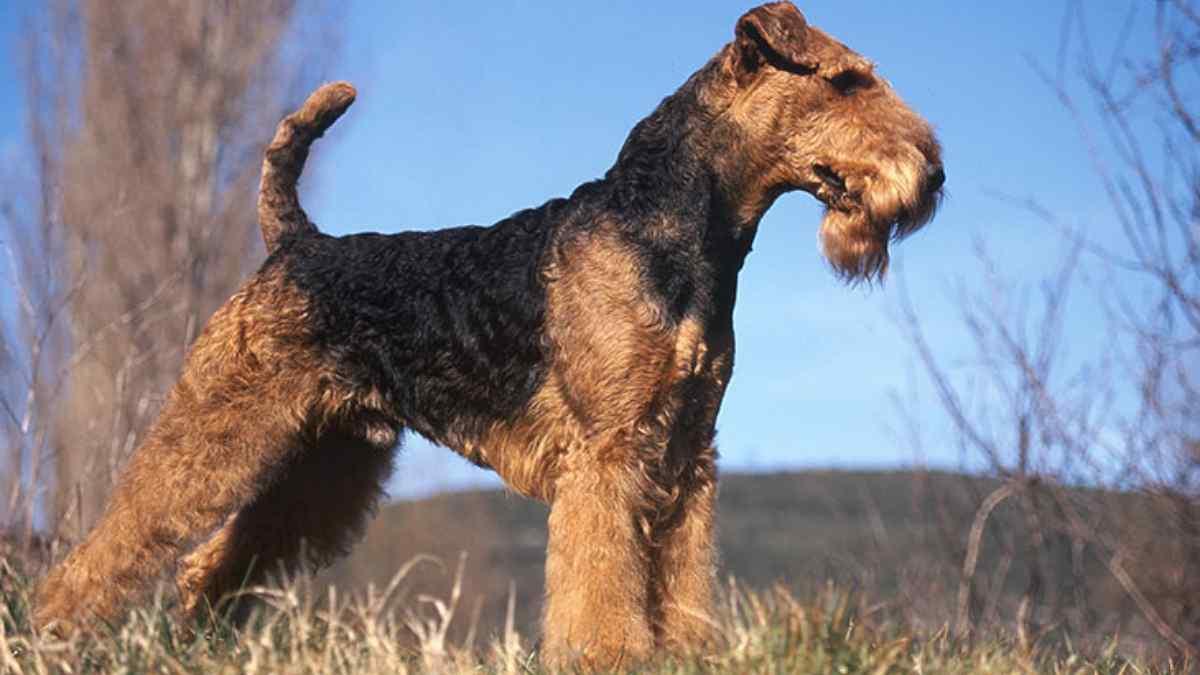 Airedale Terrier – Tudo sobre a Raça