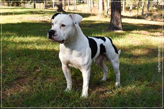 raças de cachorro grande