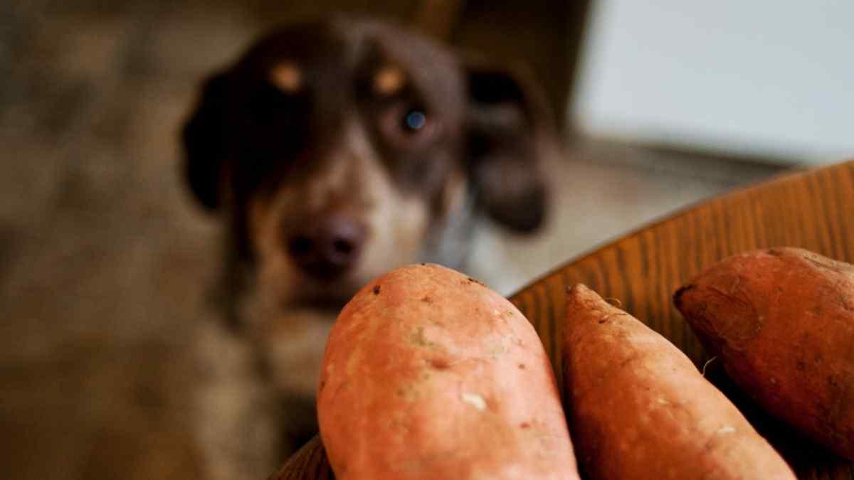 Cachorro Pode Comer Batata Doce?