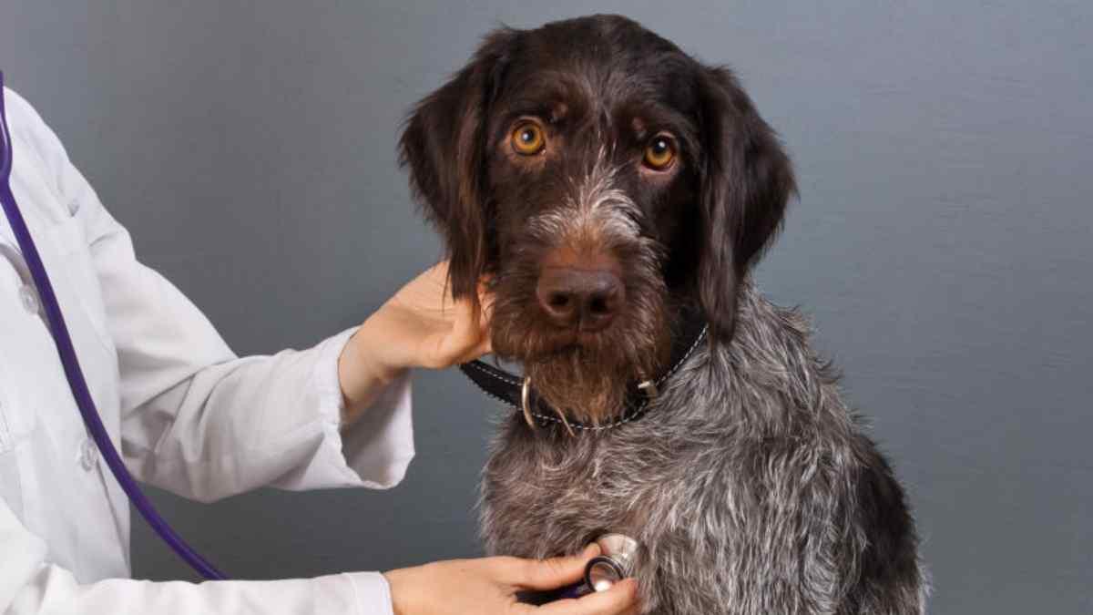 Dirofilariose Canina - Verme do coração