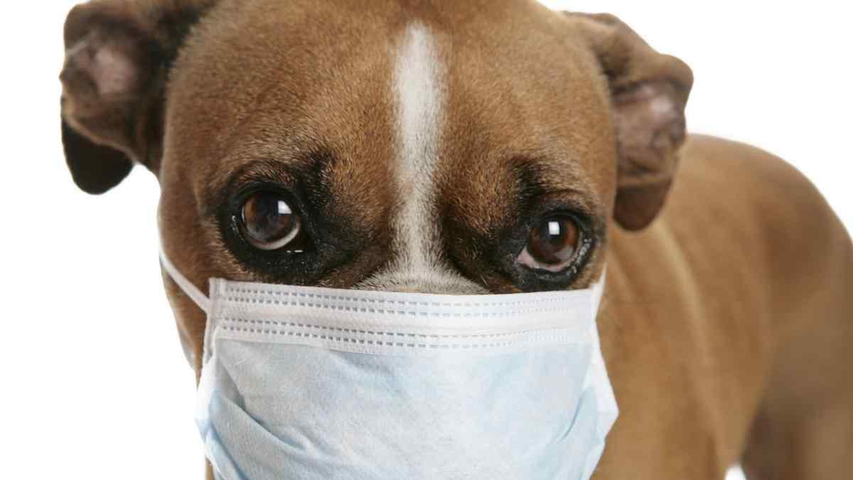 O que é Tosse dos Canis? Sintomas e Tratamento
