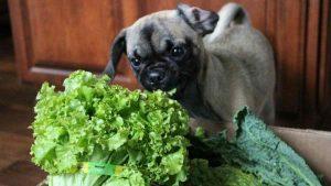 cachorro pode comer alface
