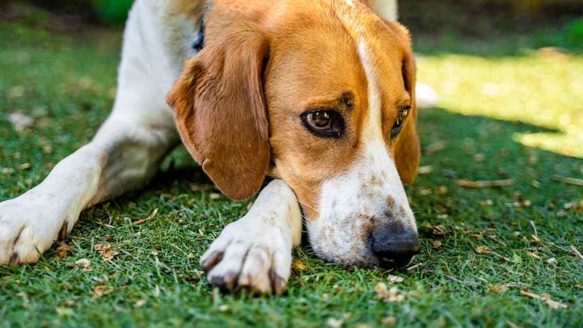 Cachorro Vomitando Amarelo: O que pode ser?