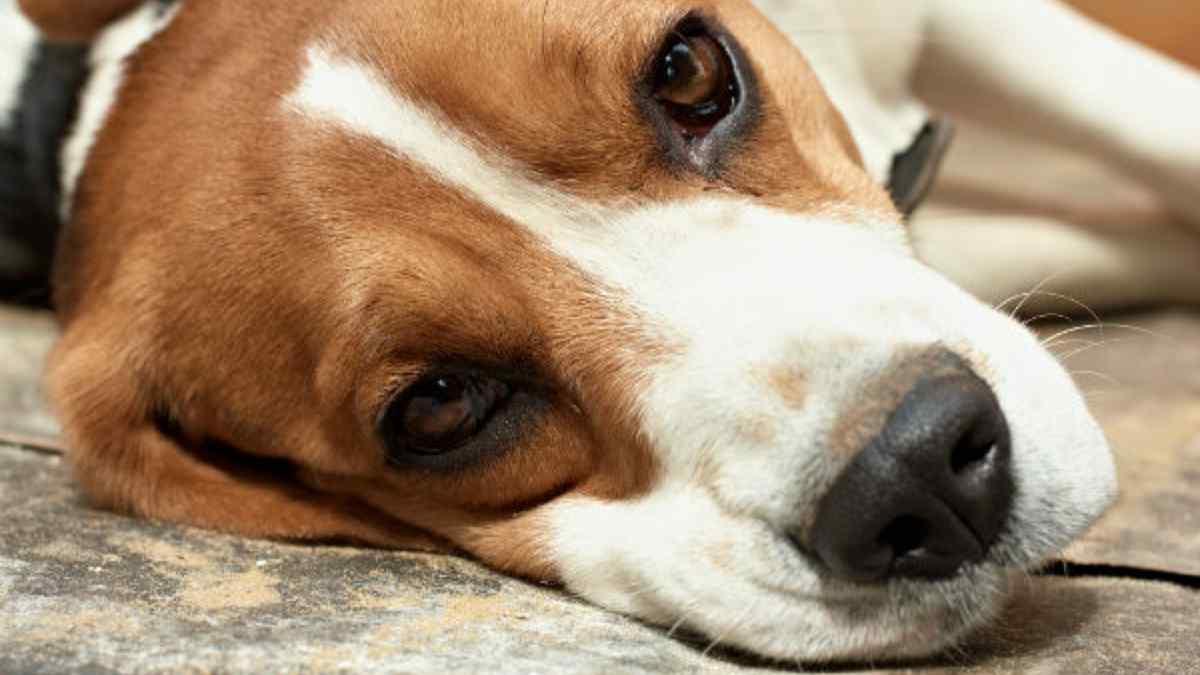 Torção Gástrica em Cães – Causas, Sintomas e Tratamento