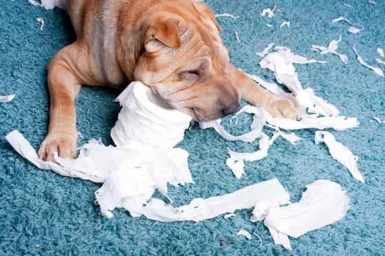 porque cachorro come papel higiênico