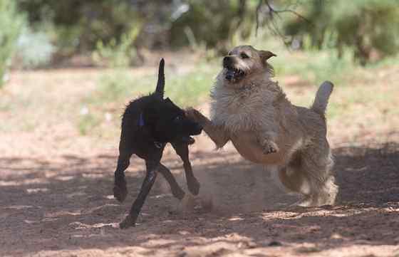 Por que os cachorros latem uns para os outros?