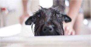 Shampoo Caseiro para Cachorro
