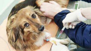 Brucelose Canina: Sintomas, Tratamentos e Causas