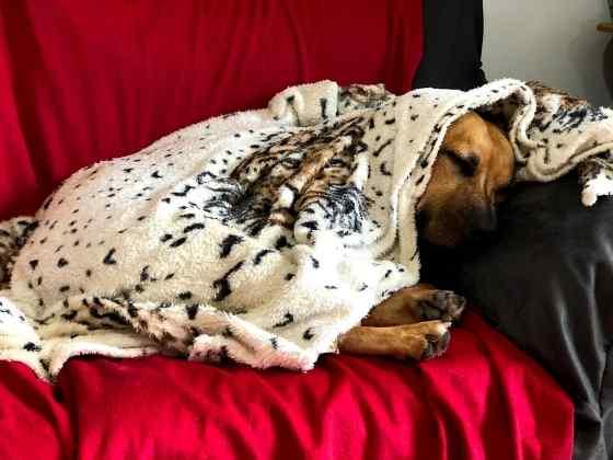 Porque os Cachorros se Mexem Quando Dormem